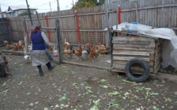 Protecţia Civilă din cadrul Primăriei Carei recomandă evitarea creşterii păsărilor domestice în aer liber