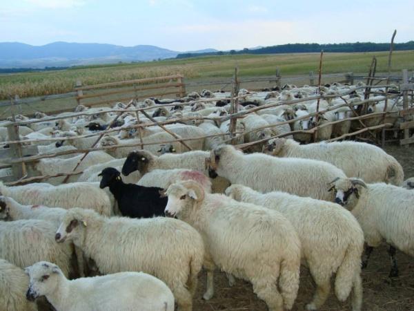 Oierii români aruncă anual pe apa sâmbetei lâna de la peste 10 milioane de oi!
