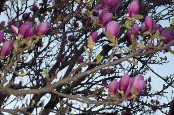 Simfonie de primăvară. Au înflorit magnoliile