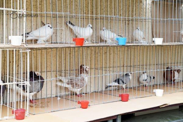 Expoziţie de porumbei şi animale de casă în cadrul AugustFest Carei 2017