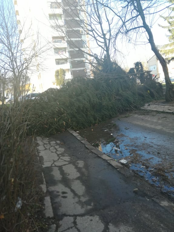 Brad doborât de vânt în cartierul Eliberării din Carei
