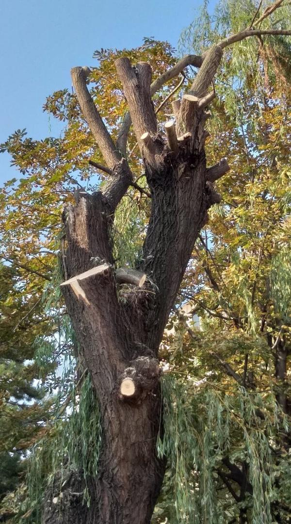 Tăieri sau ciuntiri de arbori în cartierul Republicii din Carei?