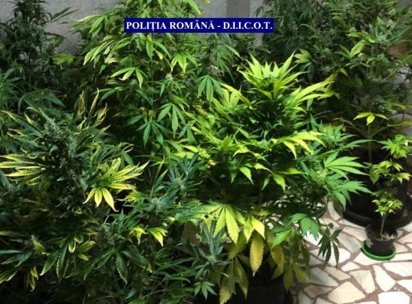 Cultură de cannabis descoperită la Satu Mare