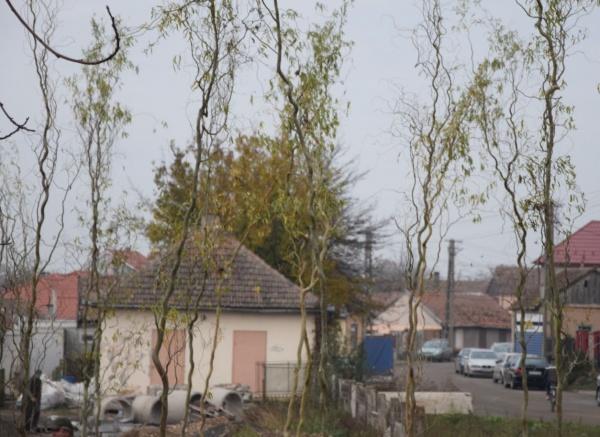 Se plantează puieți în zona Șomoș. Vecinii contestă una dintre specii