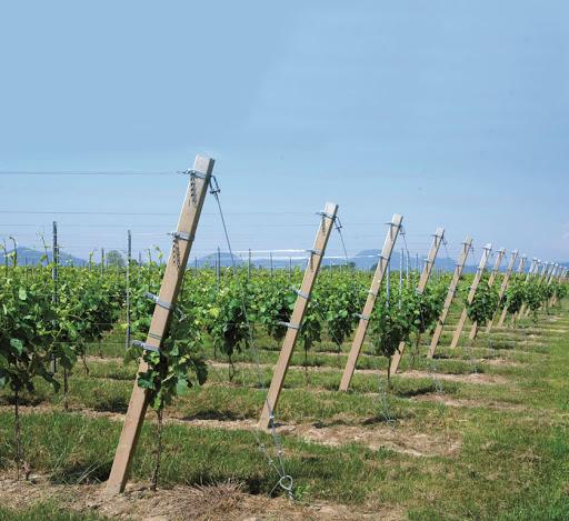 APIA acordă sprijin financiar viticultorilor. Condiții